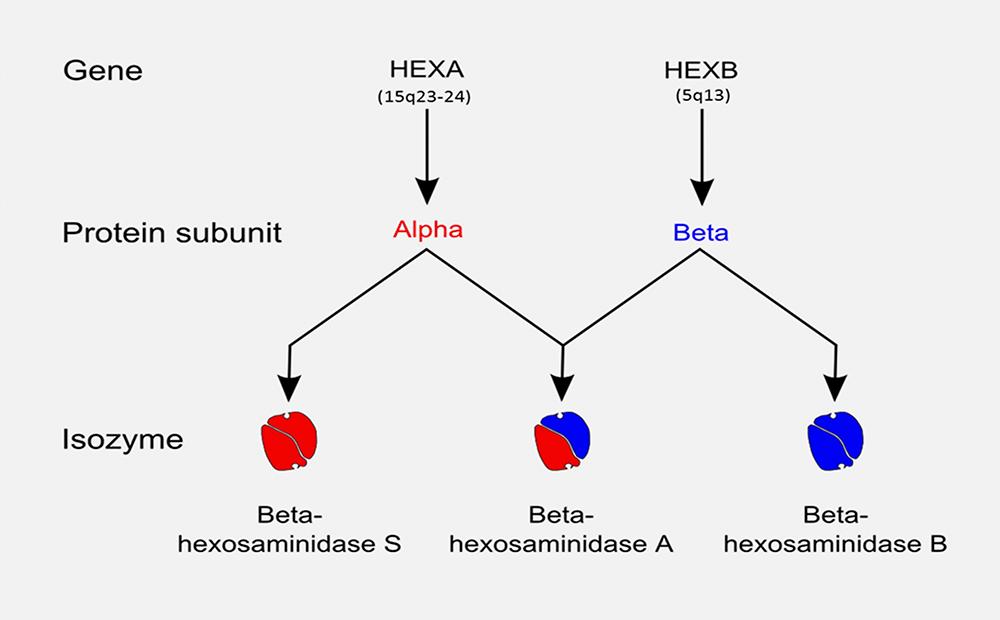 HEXA HEXB diagram